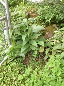 comfrey plant by fence