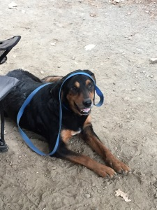 dog with leash on head
