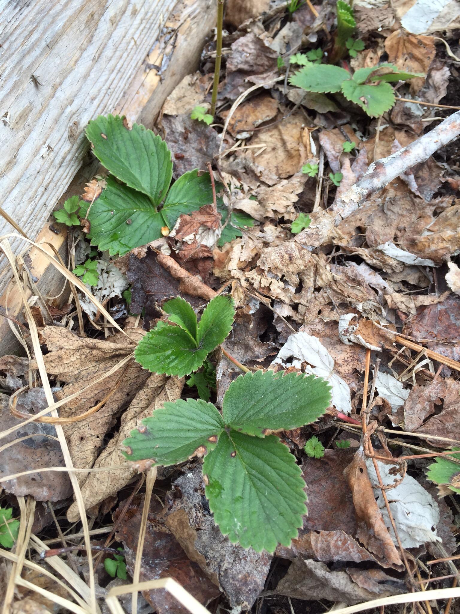 an early season strawberry