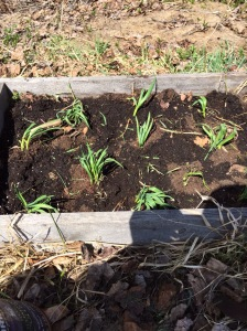 transplanted garlic